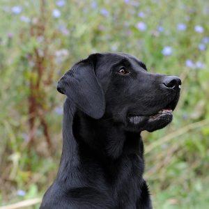 Stud Dog Jake