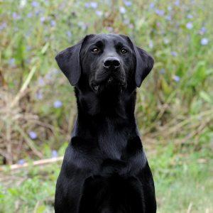 Stud Dog - Jake